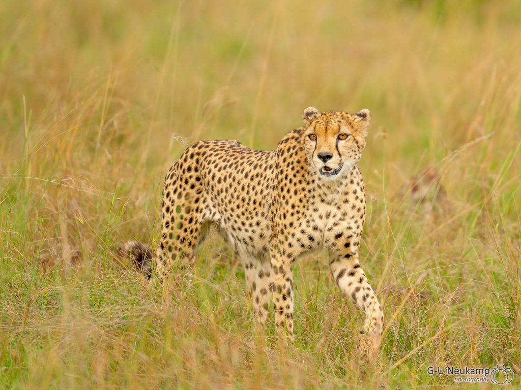 Masai Mara,Kenia